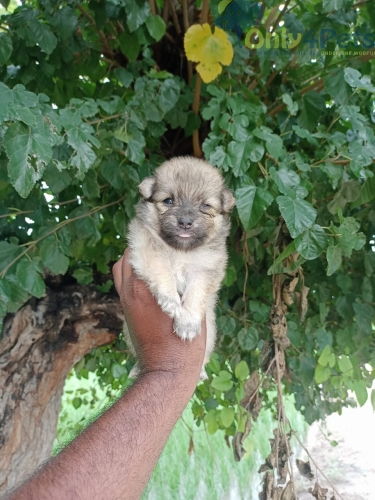 full top quality  Culture  pom 2 male for sale