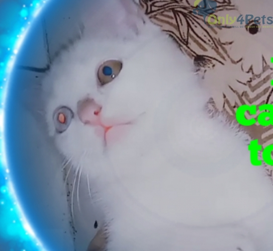 baby cat sell two eyes colour