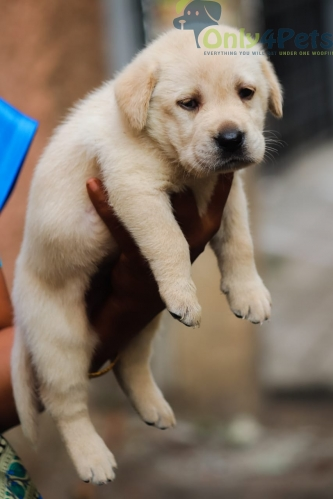 Lab Male Female Puppies Available