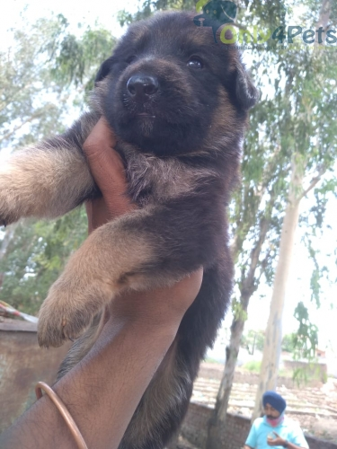 Gsd double cott male  top quality