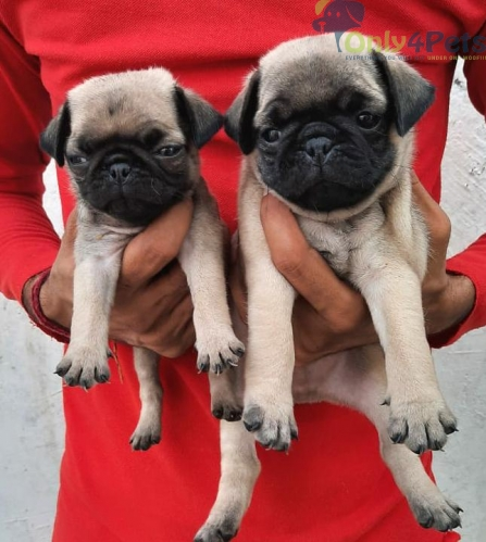 fawn pug for sale