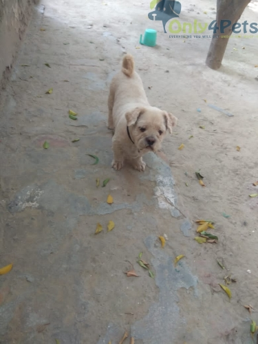 Lhasa Male for sale