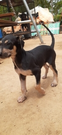 chippiparai (native hunting breed) for sale