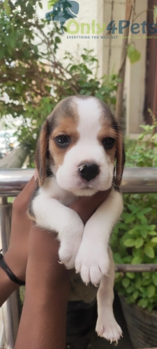 Top quality ❤️           ❤️Begale male pup