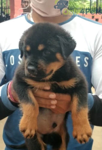 42days old best quality rottweiler