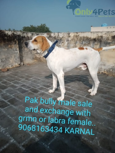 Pak bully male 18 mnth male for sale..