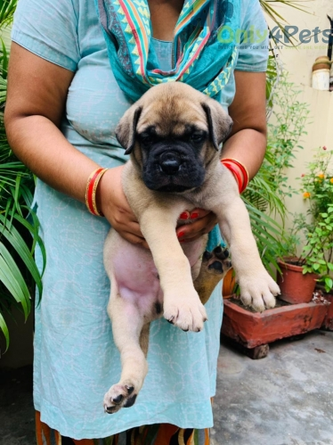 Extraordinary bullmastiff male pappy available