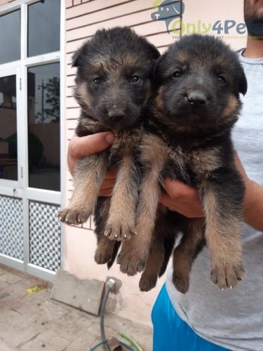 GSD male and female sale contact me