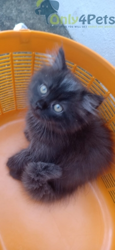 45 days old brown and grey colour Persian kitten available