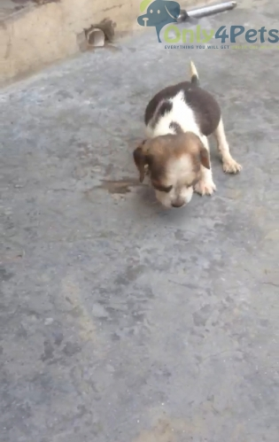 Ful top quality beagle female for sale