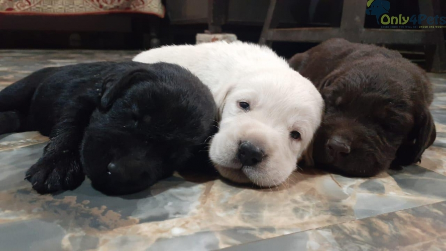 Labrador male female puppy available top quality