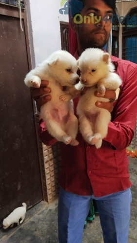Only Pomeranian male puppy for sale