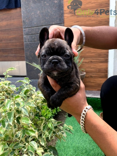 TOP QUALITY FRENCH BULLDOG PUPPY'S AVAILABLE
