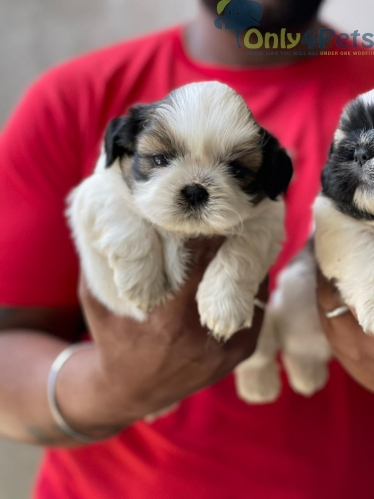 top quality shihtzu male pup available