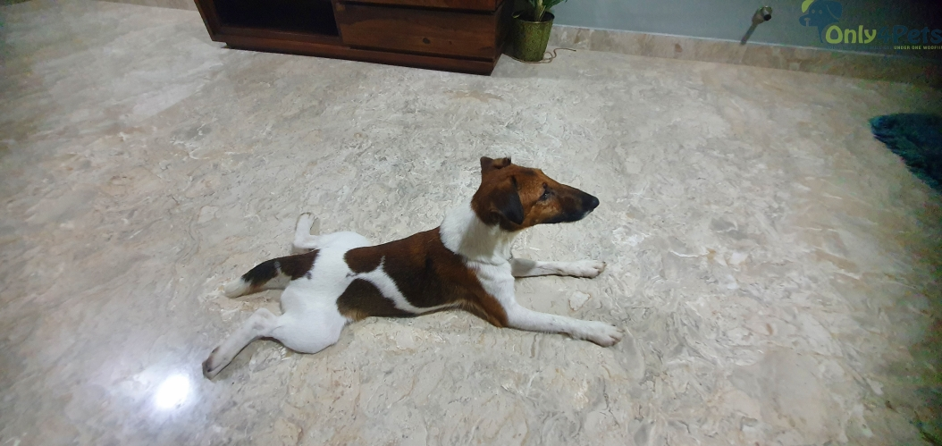 smooth fox terrier 1 year adult