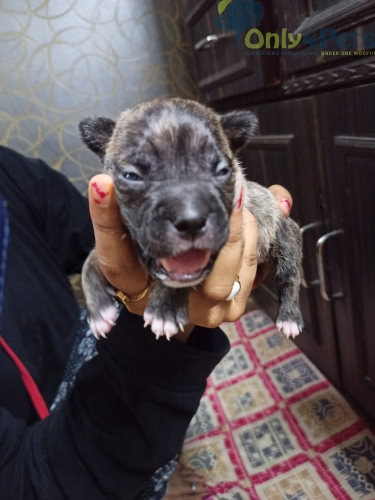 Top class American Pitbull Terrier puppies 12 days old available