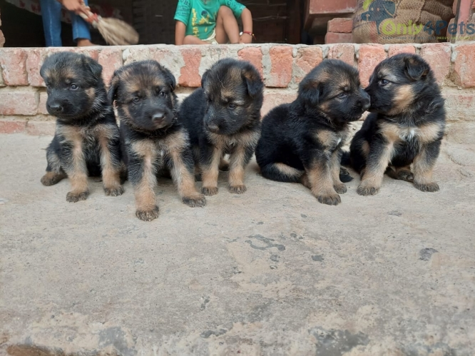 3 gsd male top quality....
