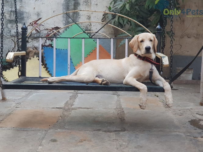 Labrador Male 6 Months Old for Sale