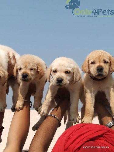 Sale sale  Labrador male and female show quality .pup