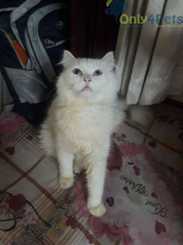 Male Persian Cat 09 Months Old