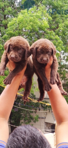 Chocolate lab female puppy Available