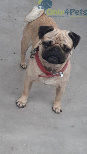 Pug Male sale 8month