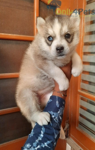 Siberian husky female pup available show quality odd eyes  kci  available