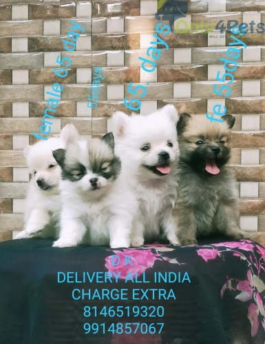 SALE  POM PUPPY delivery all India