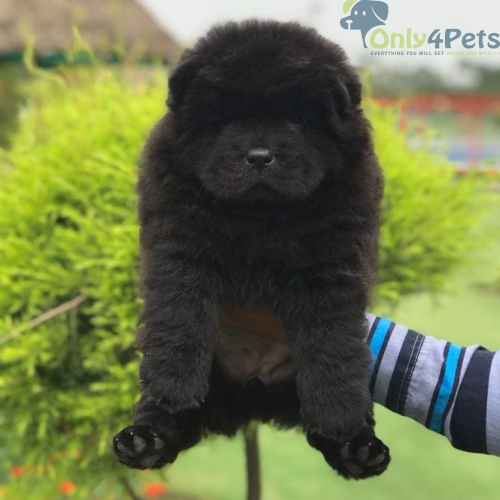 Chow chow ❤️ black beauty female puppy available for sale.