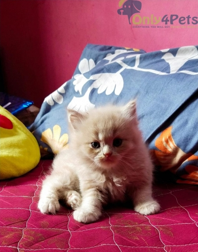 Persian kittens for sale in Chennai
