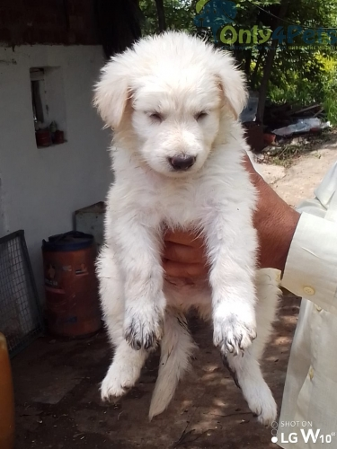 White German shepherd Male Puppy Available