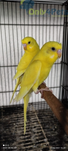 Available budgies available for sale