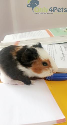 guinea pig adoption for free