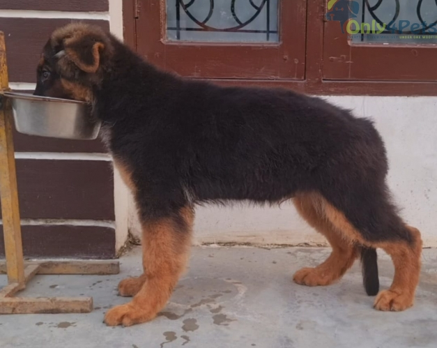 Gsd long cot male  sale with kci