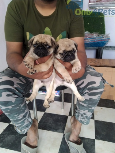 PUG 2 MALE FOR SALE AGE 40 DAYS