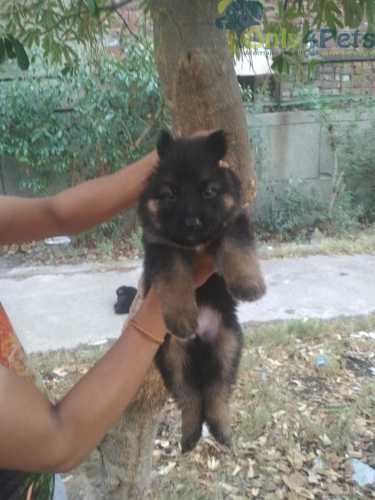Ultimate Black Mask Double Coat Male Female pups available