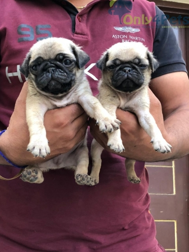 Pug 1 pair for sale age 28 days