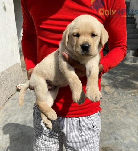 olden Retriever male extra ordinary top quality.for sale