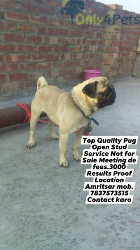 Top Quality Pug Open Stud Service Not for Sale Meeting