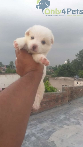 Pom and culture male for sale top quality full healthy