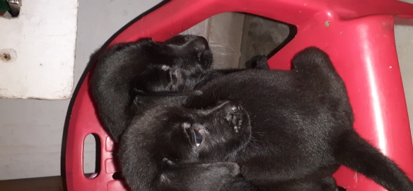 Labrador puppy available for best price 4500 rs only.