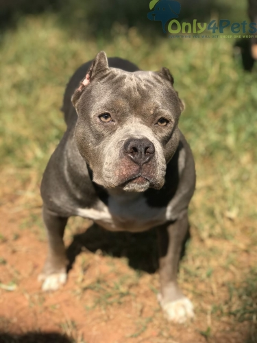 American Bully female available for sale.