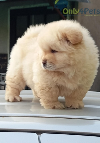 chow chow single male puppy for sale