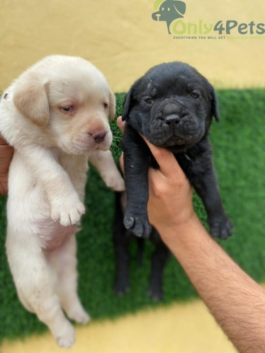 Show quality full halthy golden & black labra 2 male sale