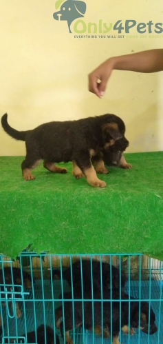 German shepherd male female for sale