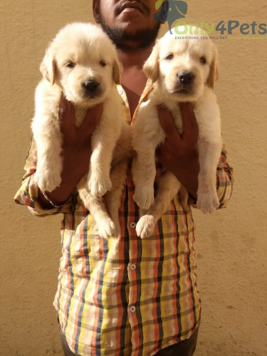 Retriever Male and female puppies available