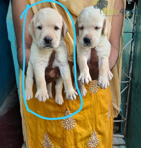 Good quality.... Lab male puppy.... available for sale..