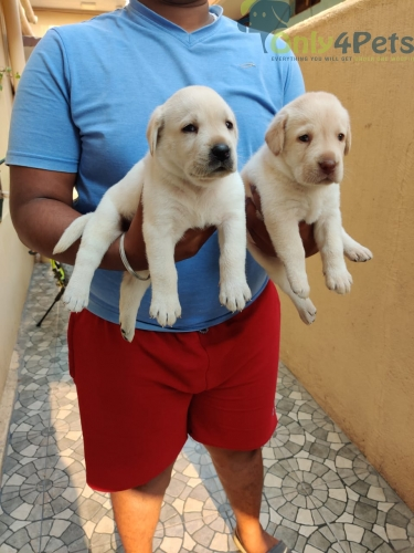 Labrador puppies available in Bangalore