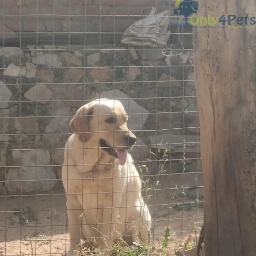 Lab quality adult male for sale????