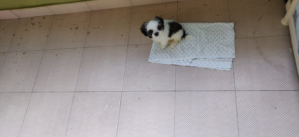 shitzu male pup for sales